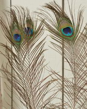 Peacock Eye Feathers