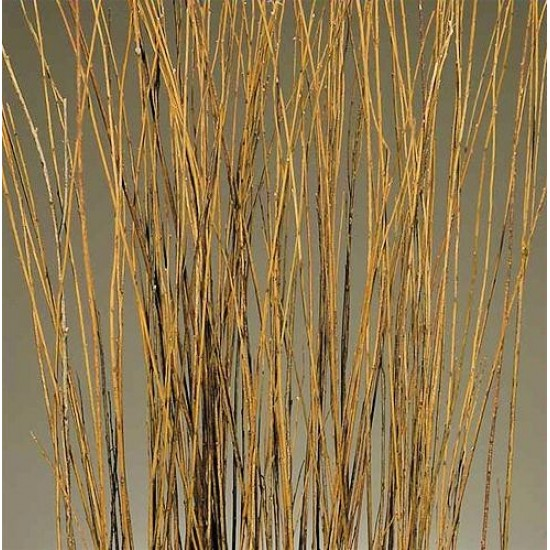 Asian Willow 4-5 foot