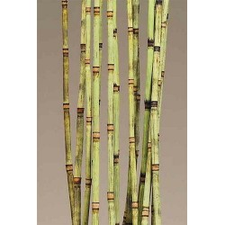 Decorative Equisetum