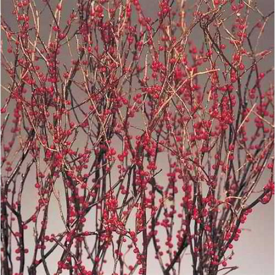 Berry Sweet Huck Branch Red