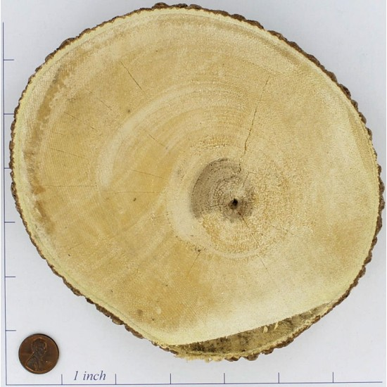 Tree Trunk Slices Large - Wood Slices for Sale