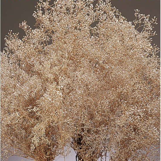 Champagn Sparkle Stardust Gypsophila - Baby's Breath - Case Only