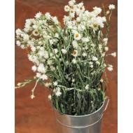 Dried Ammobium Flower Bunch - Winged Everlasting
