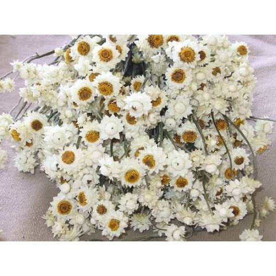 Dried Ammobium Flower Bunch - Winged Everlasting