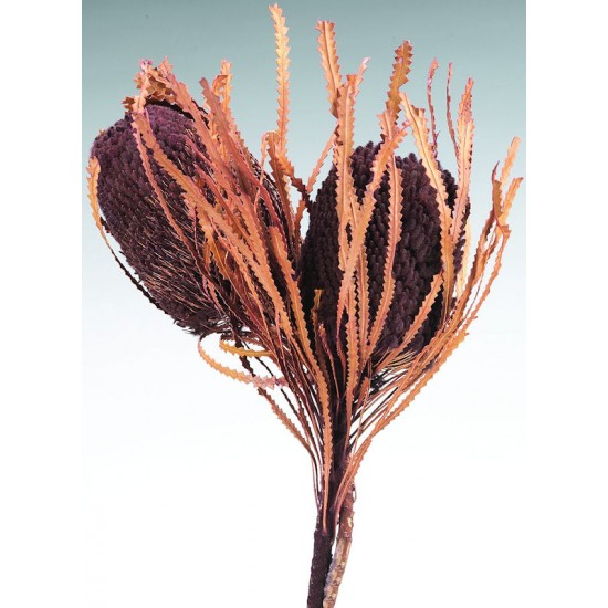 Dried Banksia Hookerana Flowers with dyed leaves