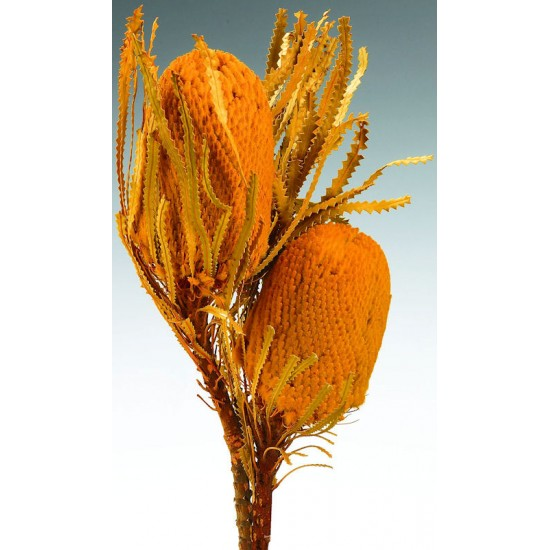 Dried Banksia Hookeriana Flowers with dyed leaves