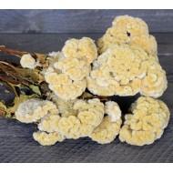 Dried Celosia Cockscomb - Coxcomb