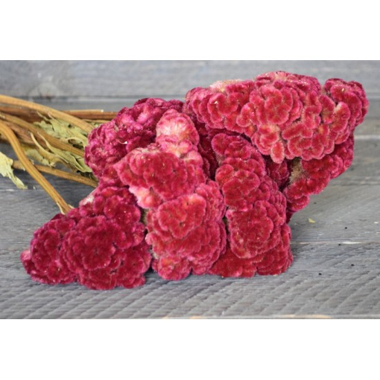 Dried Celosia Cockscomb - Coxcomb