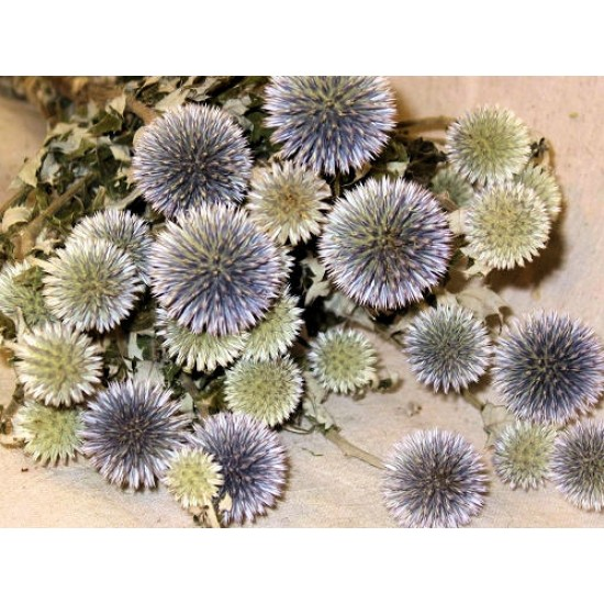 Dried Echinops Bunch (Globe Thistle)