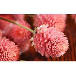 Dried Globe Amaranth - Hot Pink
