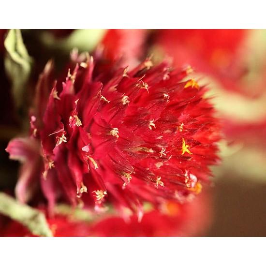Dried Globe Amaranth - Red