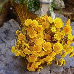 Dried Margarita Flowers