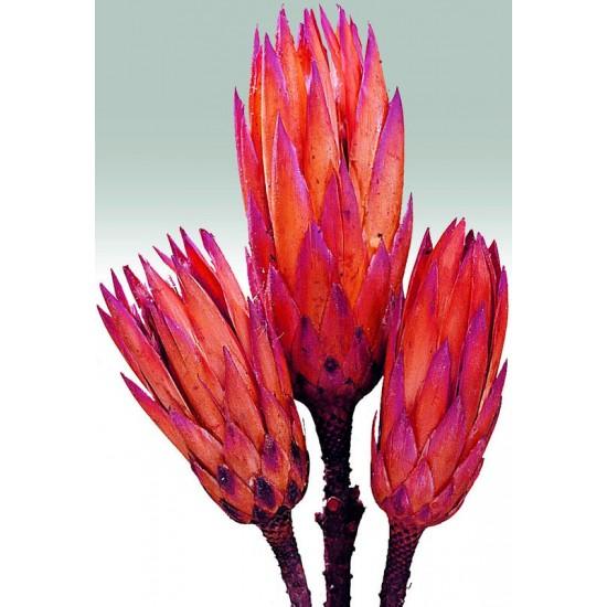 Protea Repens Natural