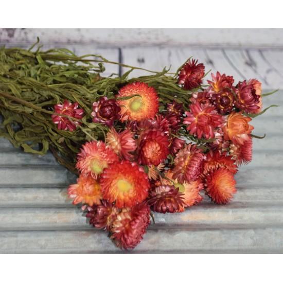 Dried StrawFlowers - Apricot - Straw Flower