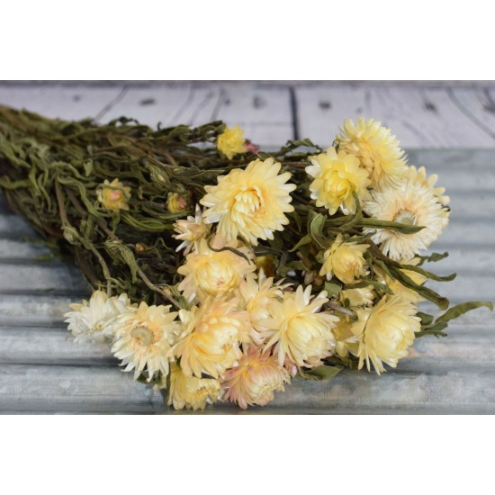 Dried StrawFlowers - Blush - Straw Flower