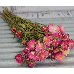 Dried StrawFlowers - Pink - Straw Flower