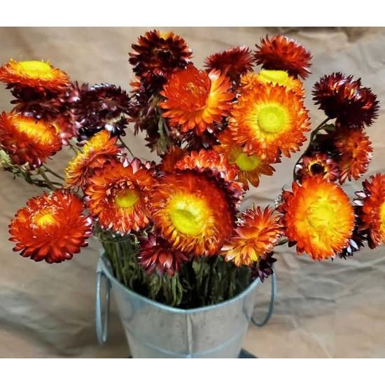 Dried StrawFlowers - Red - Straw Flower