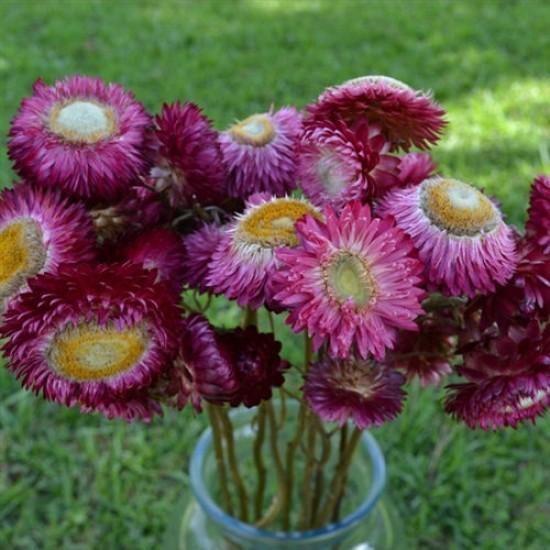 Dried StrawFlowers - Straw Flowers