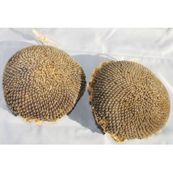 Dried Sunflower Seed Heads