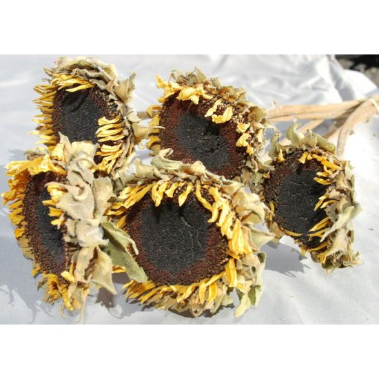 Dried Sunflower Heads - Large