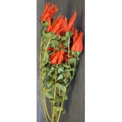Preserved Indian Paintbrush
