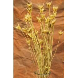 Dried Orientalis Flower Pod Bunch