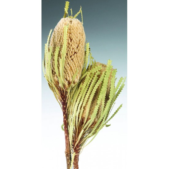 Dried Banksia Hookeriana Flowers with natural leaves