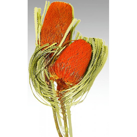 Dried Banksia Hookerana Flowers with natural leaves