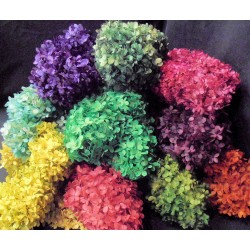 Preserved Hydrangea Flowers - 5 Assorted Bunches