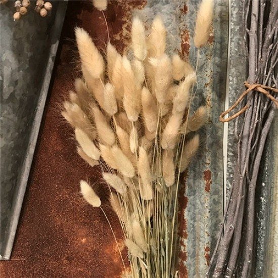 Dried Bunny Tails Grass