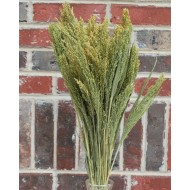 Dried Canary Grass