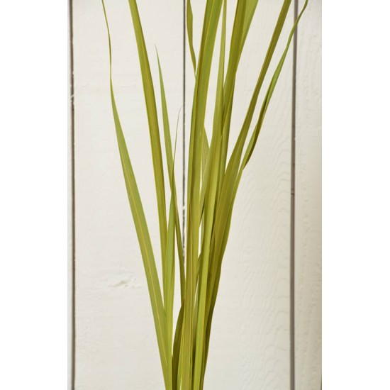 Dried Oceana Palm Leaves - Oceana Grass