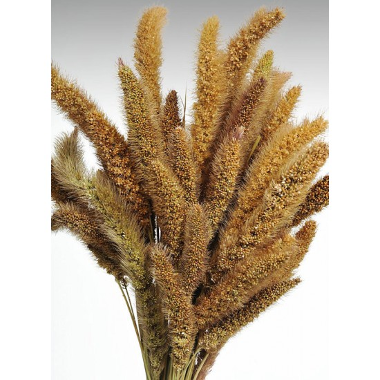 Dried Seteria Grass - Setaria Grass - Colors