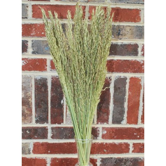 Dried Sudan Grass