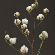 Dried Cotton Stalks