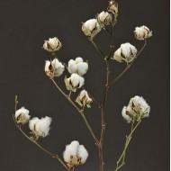 Dried Cotton Stalks