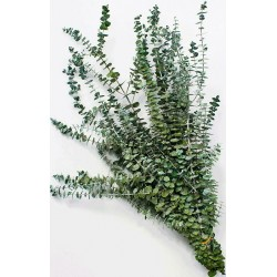 Preserved Eucalyptus Branches - Kiwi Green