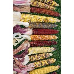 Decorative Indian Corn - Large