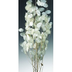 Dried Lunaria - Preserved Money Plant