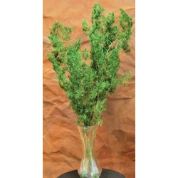 Dried Springerii Fern Bunch - Asparagus Sprengerii