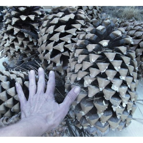 Gigantic Coulter Pine Cones