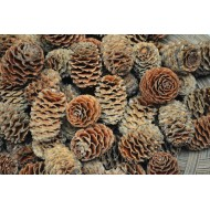 Alder Cones - Sabulosum Cone