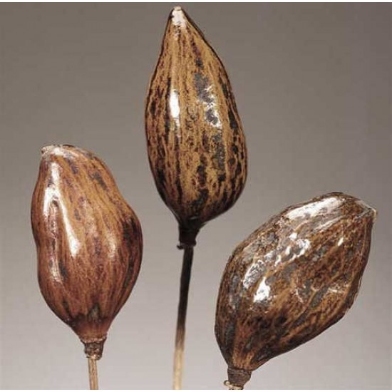 Dried Baobab Pods Stemmed
