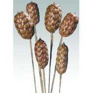 Dried Brazilia Pods on Stem