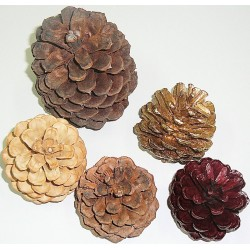 Finished Regal Assorted Pine cones