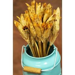 Dried Iris Pods