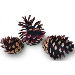 Jack Pine Cones - Natural