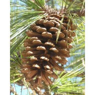 LongLeaf Pine Cones - Natural