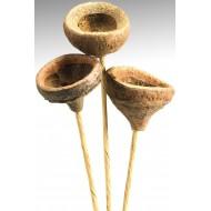 Dried Monkey Pods on Stem