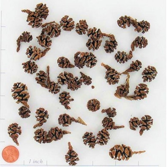 Redwood Cones - Redwood Pine Cones